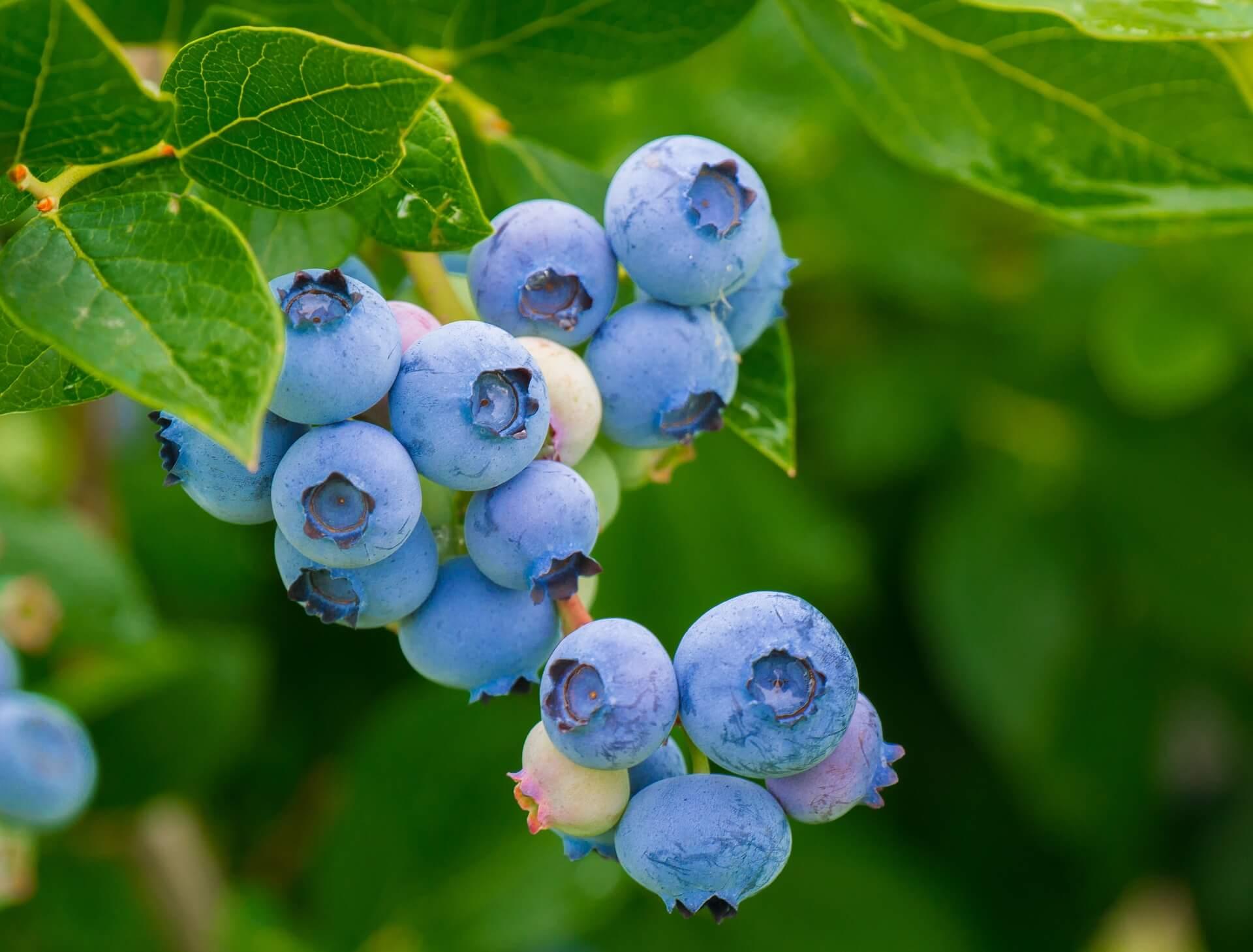 e-archive fresh blueberries